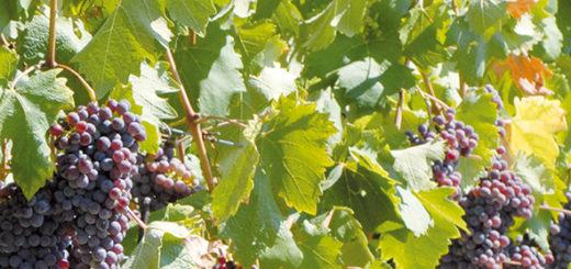 vendemmia uva