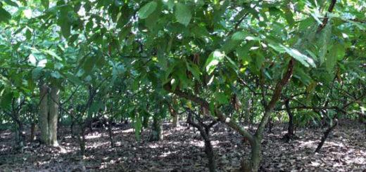 cacao piantagione